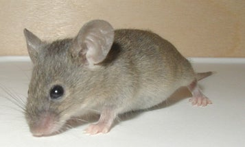 Switching a Gene in Adult Mice Easily Transforms Females Into Males