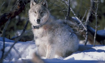 Montana Bans Wolf Hunting In Areas Bordering Yellowstone