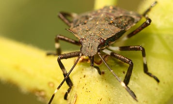 In Defense Of The Stink Bug