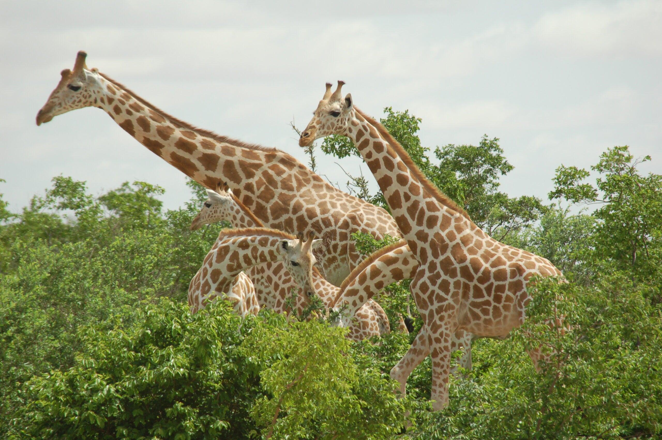 How To Keep Your Giraffe Warm