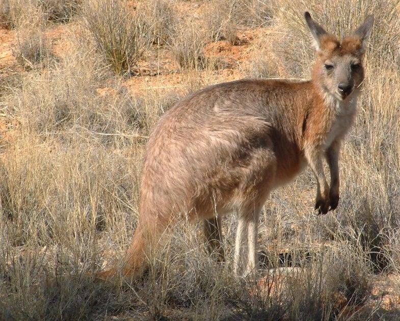Can A Kangaroo Defeat A Drone?