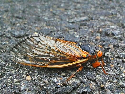 To Build Better Sonar, U.S. Navy Turns To Cicadas