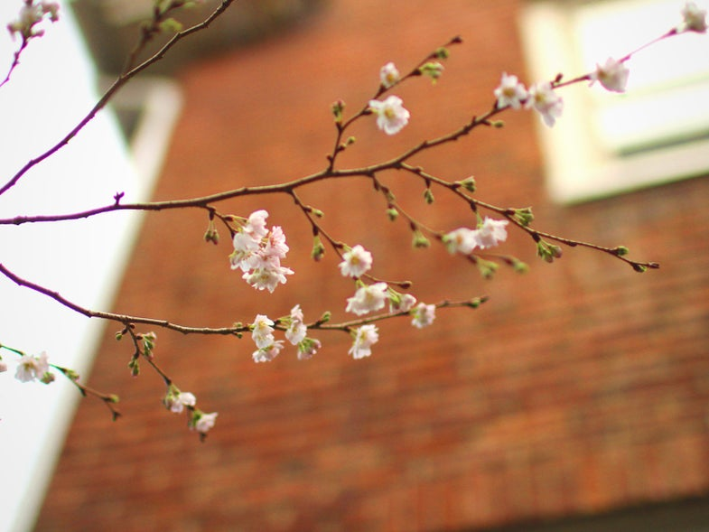 a blooming cherry tree branch with a brick house in the background