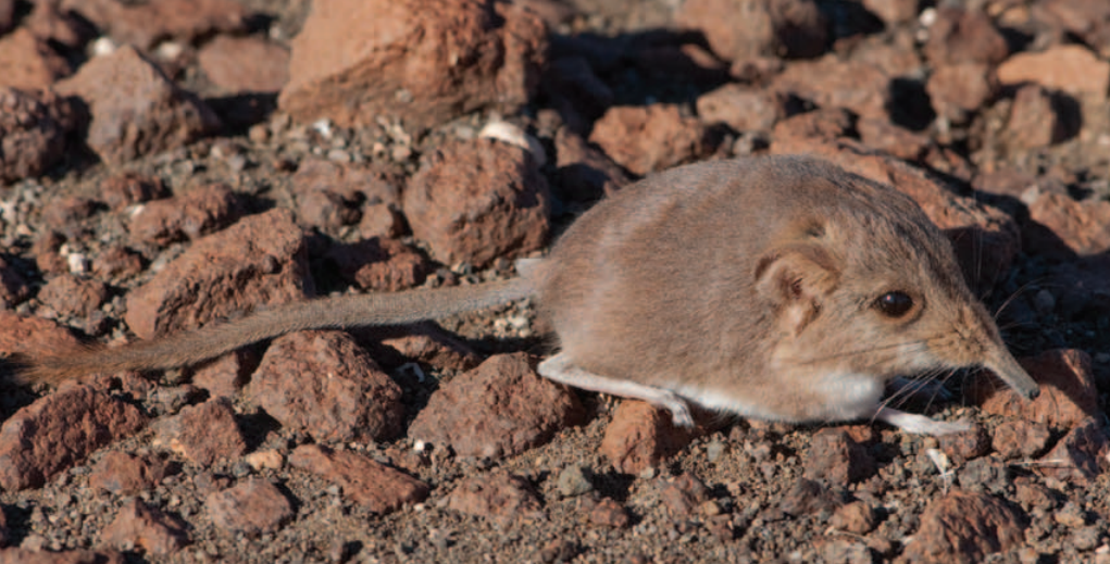 The World's Smallest Elephant Shrew Discovered
