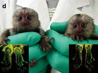 First Transgenic Primate Group Glows and Grows