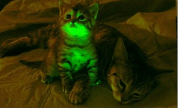 Glow-In-The-Dark Cats Could Provide Answers About AIDS