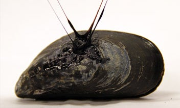 Stretchy, Sticky Mussel Fibers Inspire New Types of Tough Waterproof Adhesives