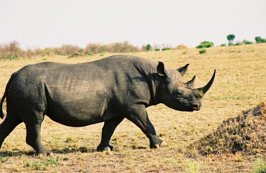 Inject Rhino Horns With Poison, That'll Stop Poachers