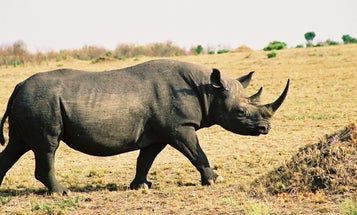 GPS Chips Installed in Endangered Rhinos' Horns To Combat Poaching