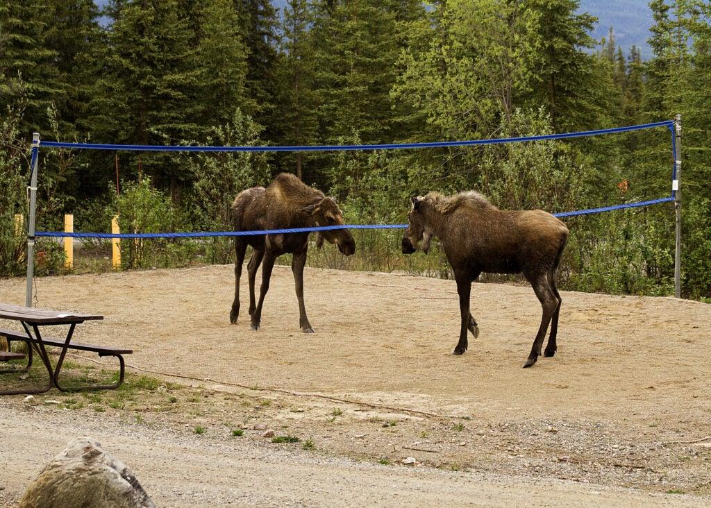 """""""Moose"""