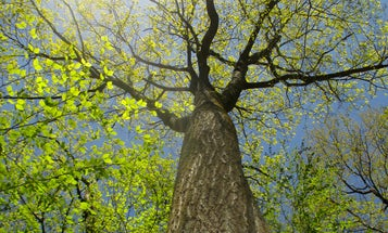 What it's like to climb a century-old oak tree