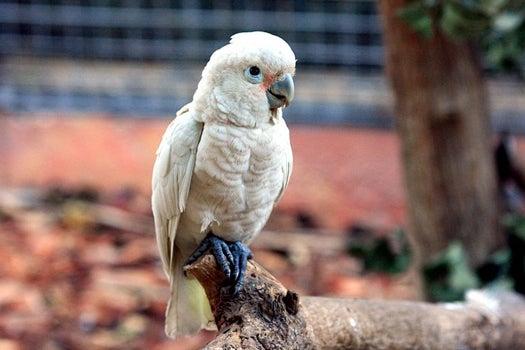 Cockatoos Forgo A Treat Now For Future Rewards