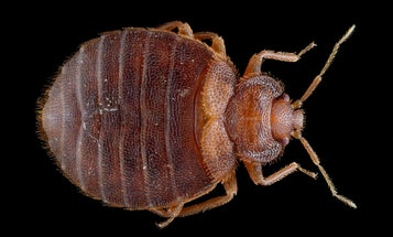 Better Know a Plague: Bed Bugs
