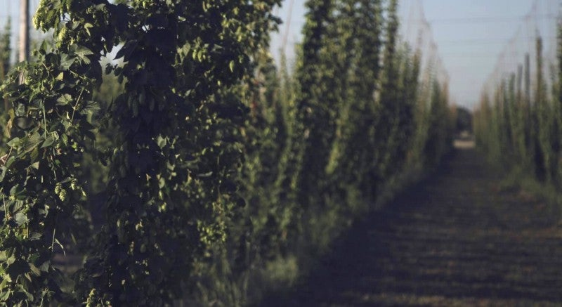 Hops, which are used to flavor beer, are [exquisitely sensitive](https://www.climate.gov/news-features/climate-and/climate-beer) to changes in climate.