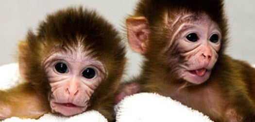 DNA Transplantation Yields Monkeys with One Father, Two Mothers