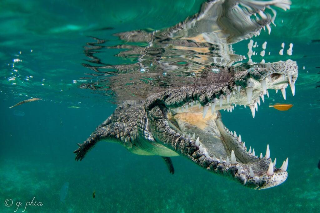 American crocodile in Jardines de la Reina