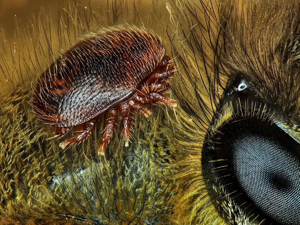mite on a honeybee