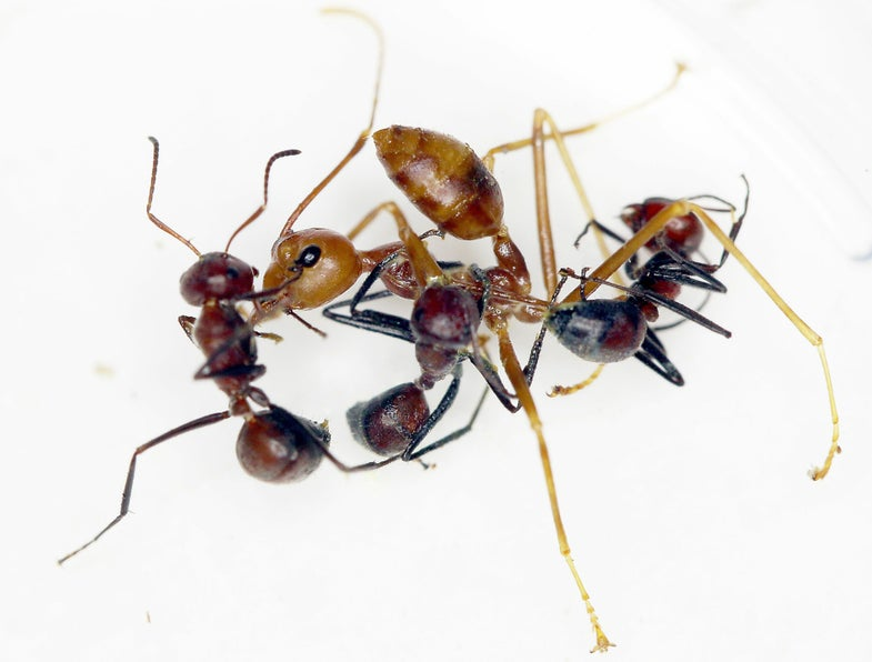 Four intense ways insects sacrifice themselves for the good of the colony