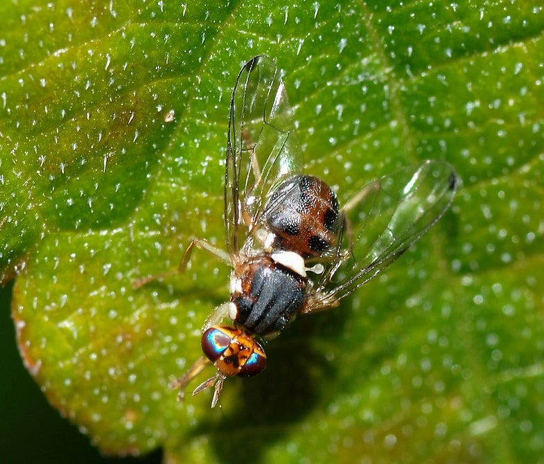 Spain Considers Release Of Genetically Modified Olive Fruit Flies