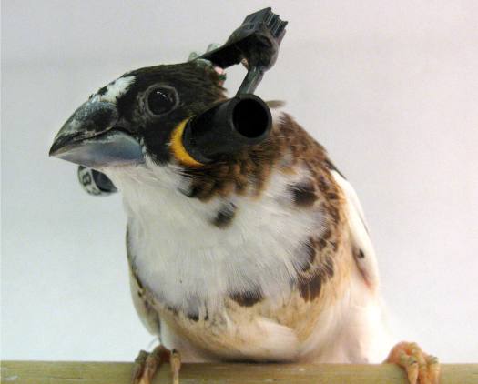 How Birds Learn To Sing