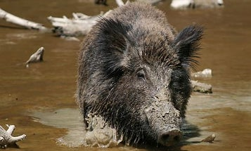 Wild Boars Menace Germany. Could it Happen Here?