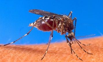 Genetically Modified Mosquitos Massively Reduce Dengue Fever Risk