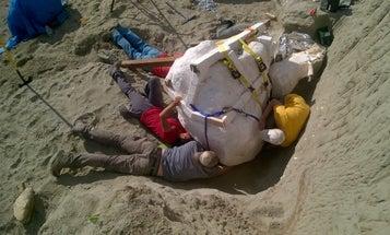Large Tyrannosaurus rex Skull Found In Montana
