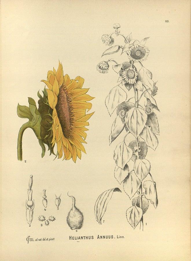 Helianthus annuus sketch