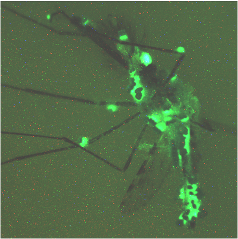 Infecting Mosquitoes With Genetically Altered Fungus Curbs Malaria Parasite