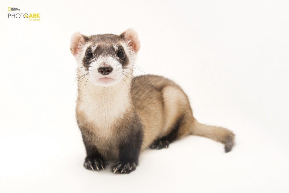 A black-footed ferret at the Toronto Zoo