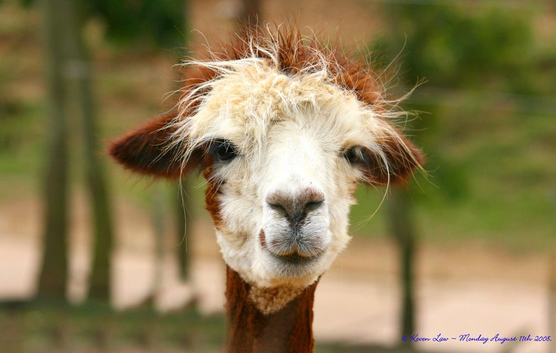 A Llama Could Save Your Life