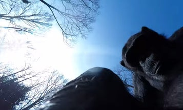 Chimpanzee Swats Drone From Sky
