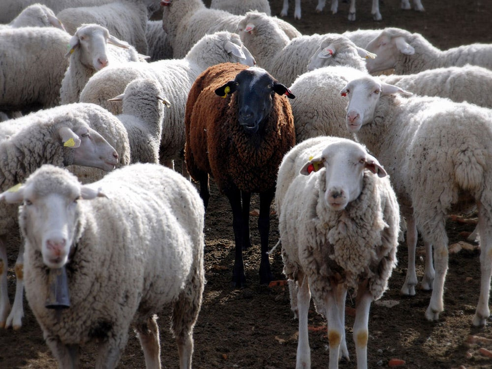 black sheep among white sheep