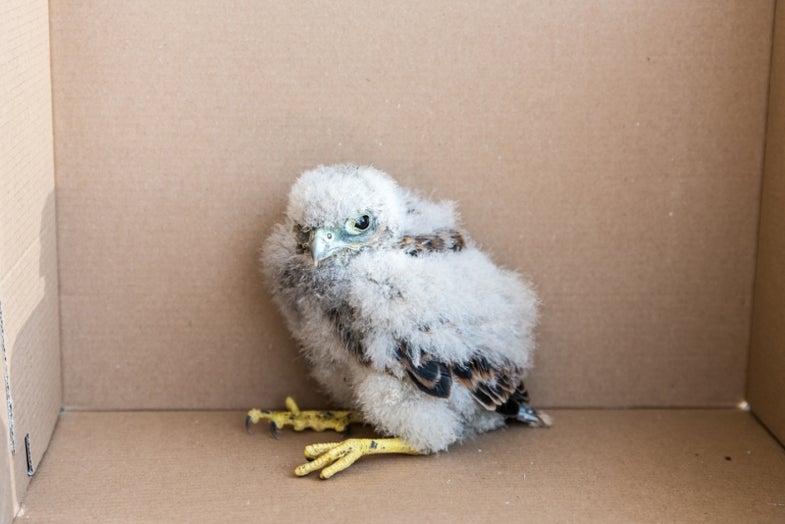 Adorable Baby Falcon Found At CERN