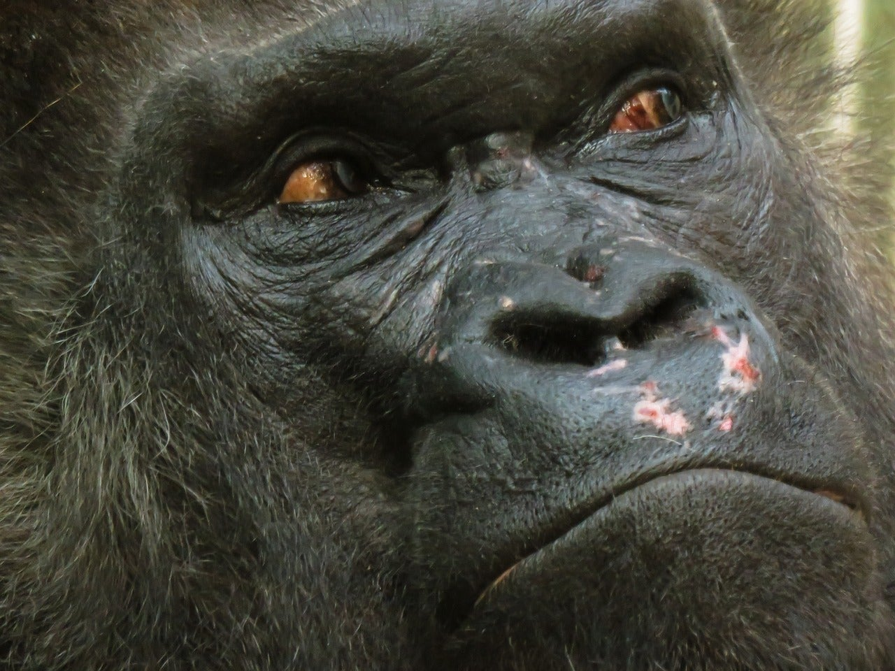 This vaccine just might stop Ebola from annihilating the great apes