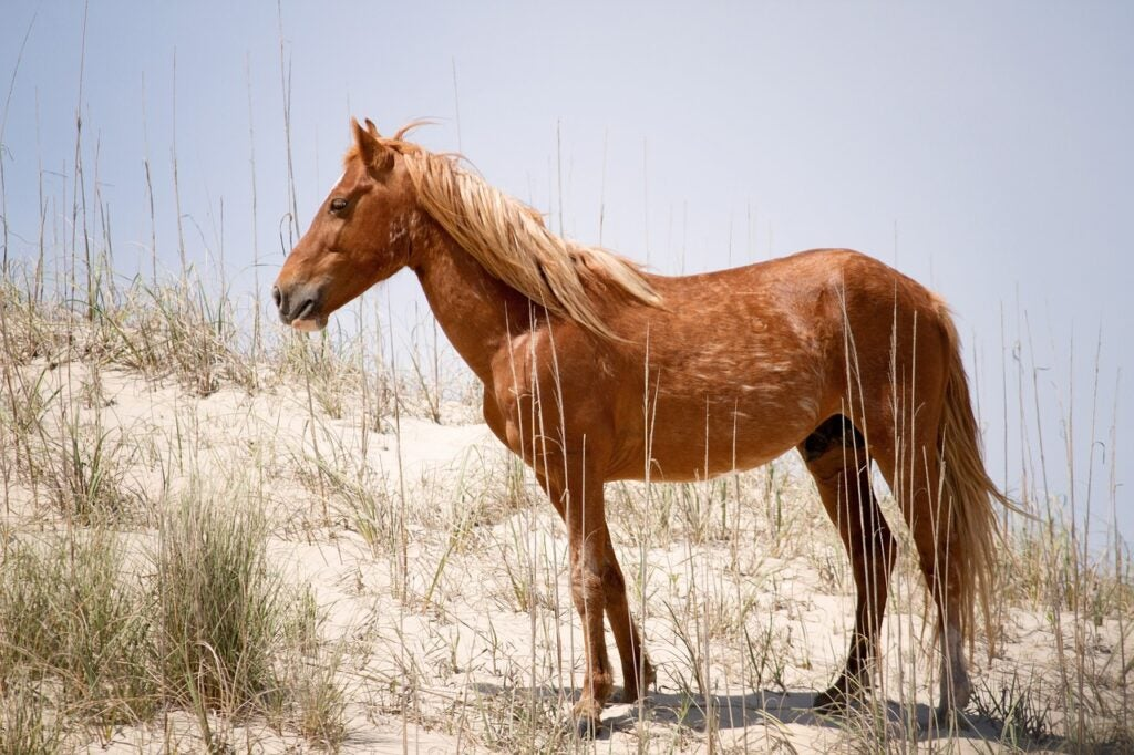 A wild Spanish mustang