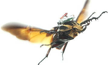 Remote-Control Cyborg Beetles Now Flying With Greater Precision