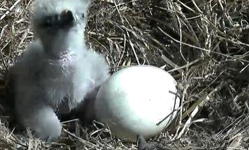 New Eaglet Hatches To Most Patriotic Bald Eagle Parents Ever