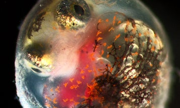 Oil From The Deepwater Horizon Spill Sickened Fish For At Least A Year