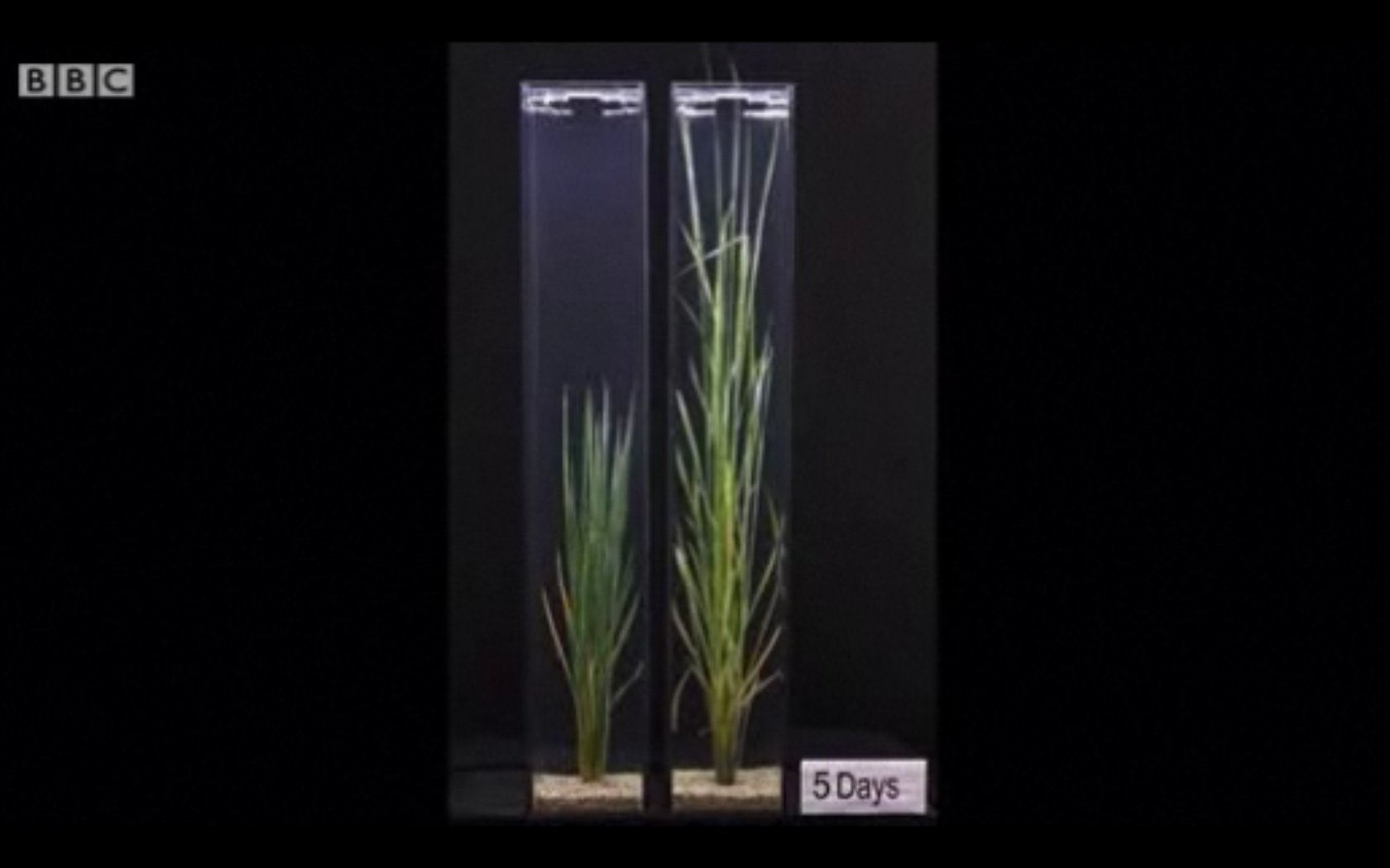 """Genetically Engineered Rice Plants Grow """"Snorkels"""" To Survive Floods"""