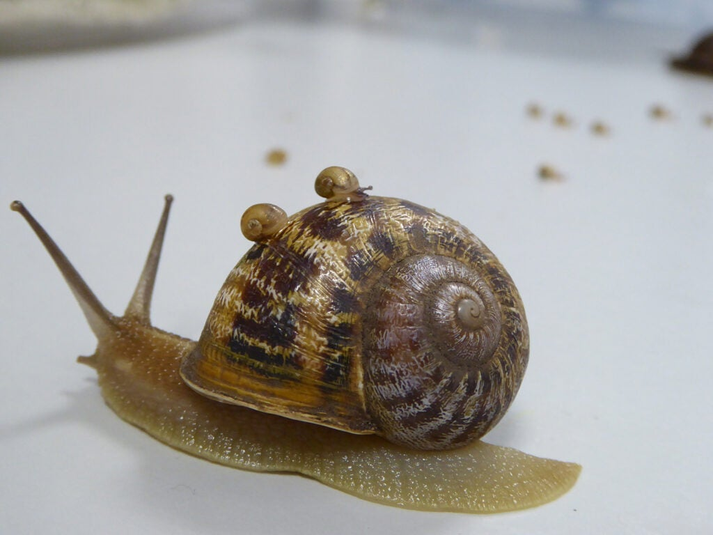 Tomeu the snail and babies