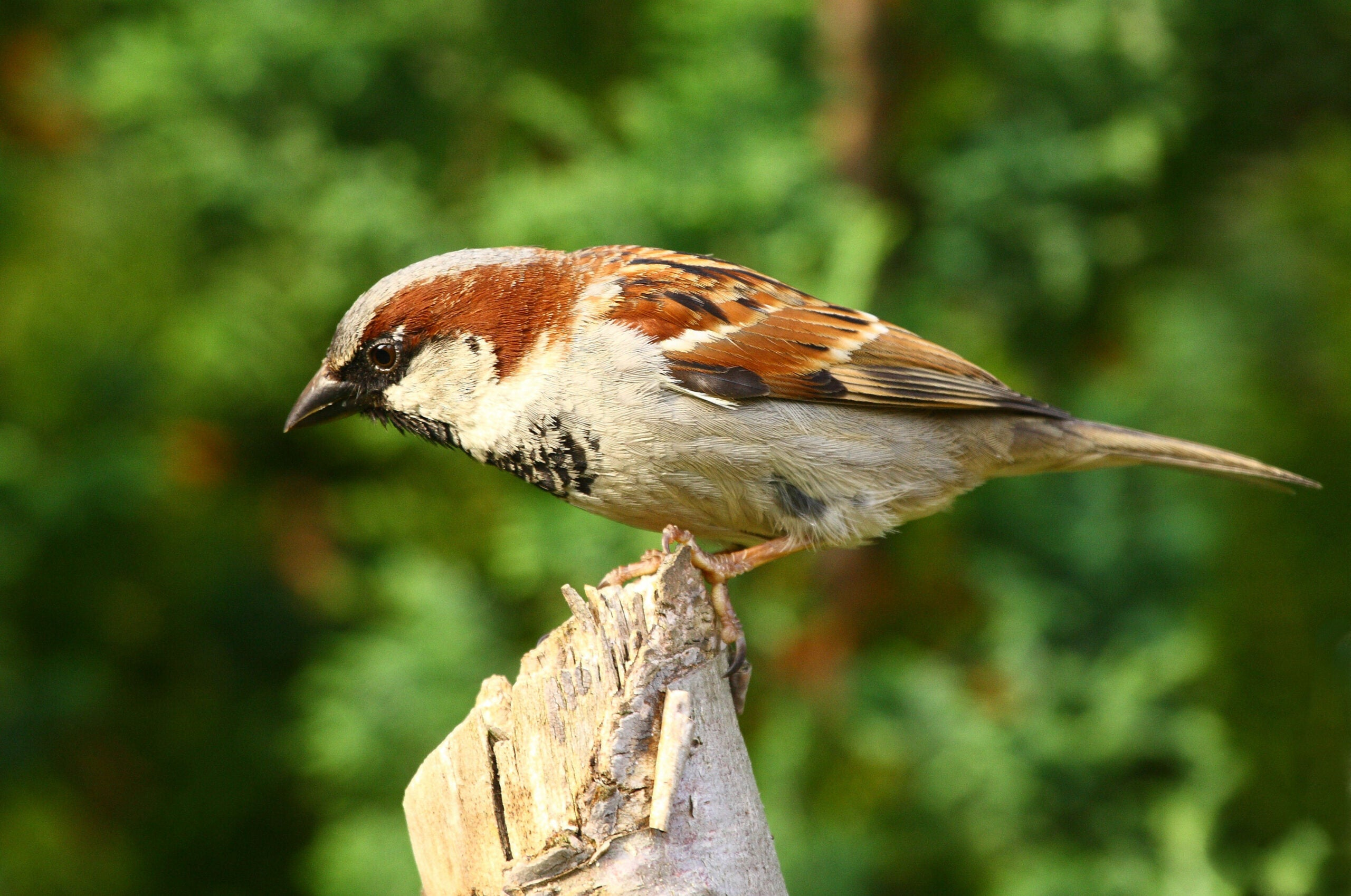 Promiscuous Sparrow Wives May Cause Deadbeat Sparrow Dads