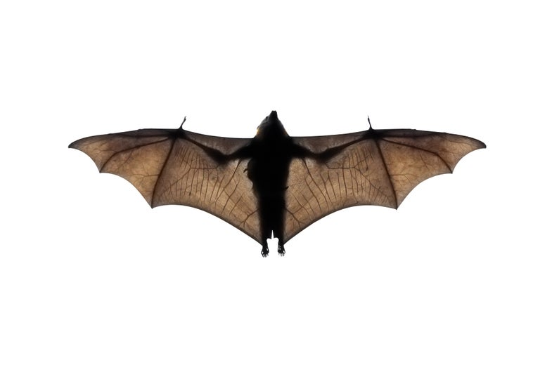 Bats, too, love the city life