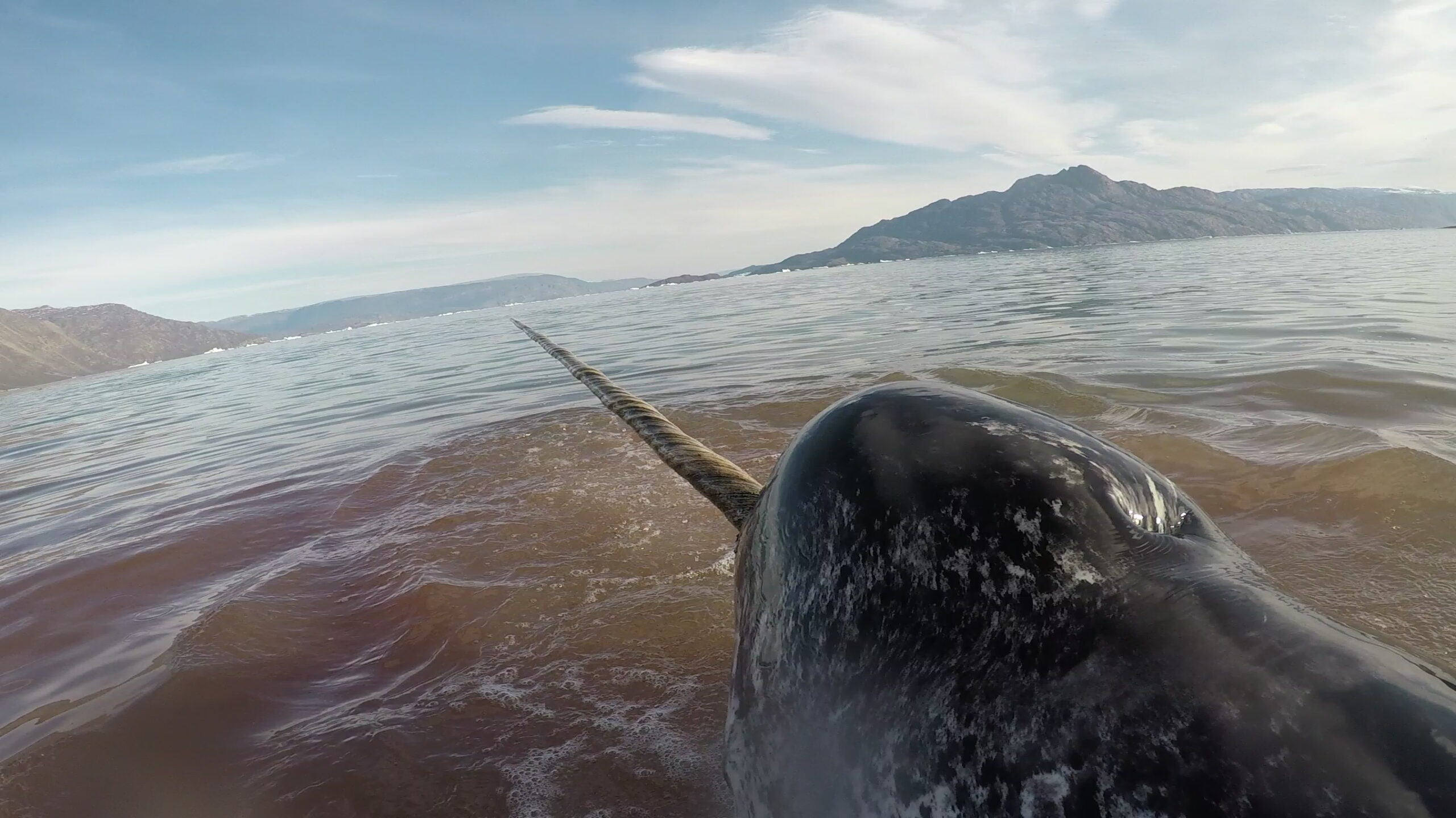 Humans may be scaring narwhals to death