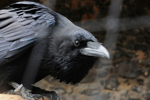 New Study Says Unfairness Really Ruffles Crows' Feathers