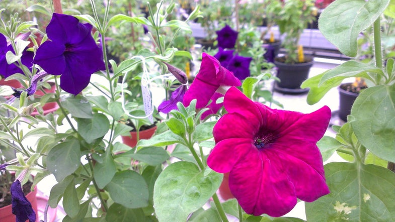 Will Gardeners Buy A Color-Changing GMO Petunia?