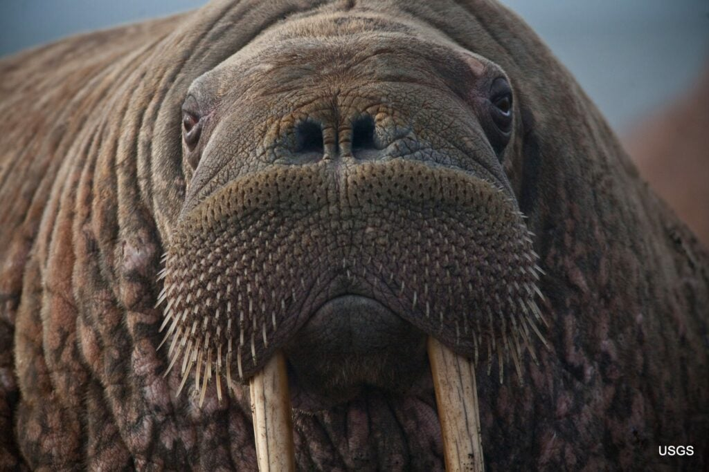 pacific walrus face