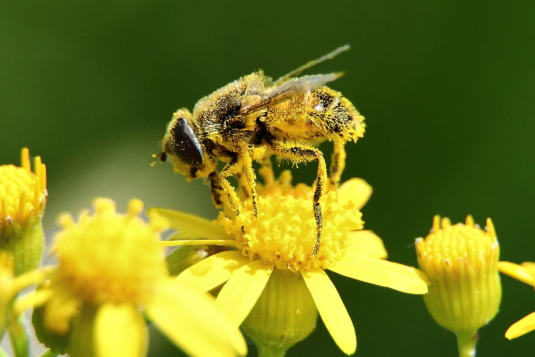 Plan 'Bee': As Honeybee Populations Dwindle, Other Species Could Come To The Rescue