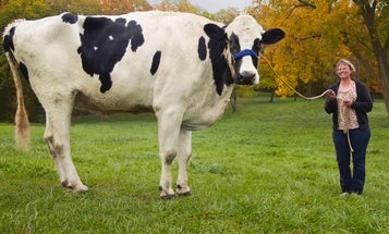 An Exceedingly Large Cow, Bill Nye Takes On Skynet, And Other Amazing Images Of The Week