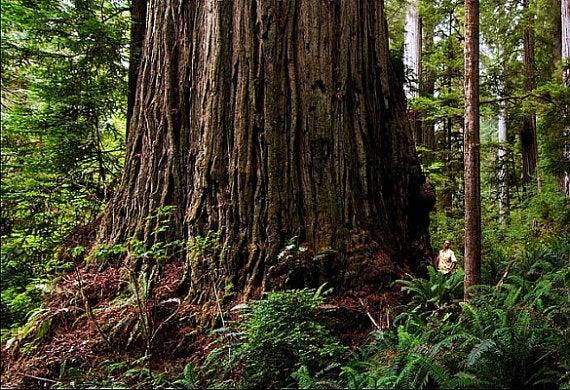 Giant Dawn Redwood